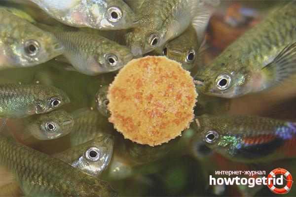 Как и чем кормить рыбок гуппи