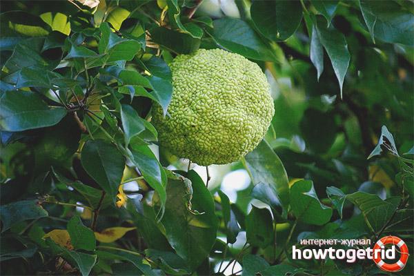 Лечебные свойства и применение адамового яблока