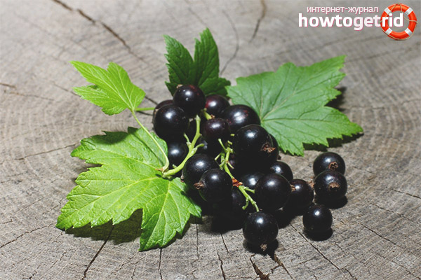 Лечебные свойства и противопоказания листьев смородины