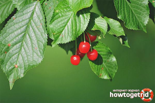 Полезные свойства и противопоказания листьев вишни