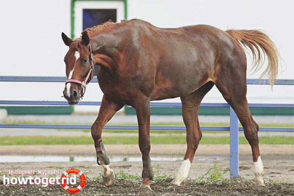 Правила ухода и стоимость тракененской лошади
