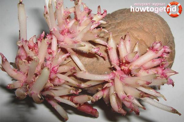 Противопоказания к применению ростков картофеля