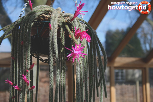 Выращивание и уход апорокактуса