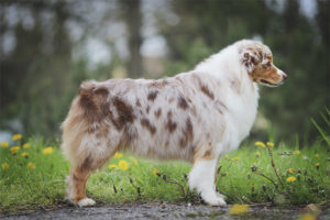 Австралийская овчарка