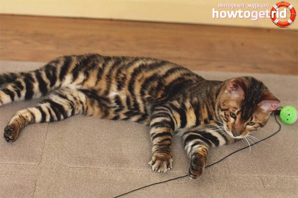 Чем болеют кошки породы тойгер