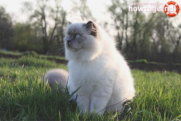 Цвет шерсти гималайской кошки