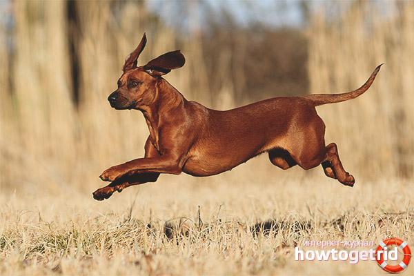 Характер баварской гончей собаки