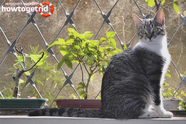 Характер бразильской короткошерстной кошки