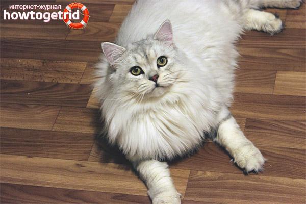 Характер британской длинношерстной кошки