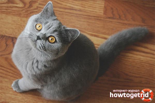 Характер британской короткошерстной кошки