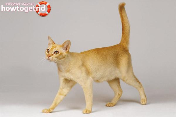 Характер цейлонской кошки