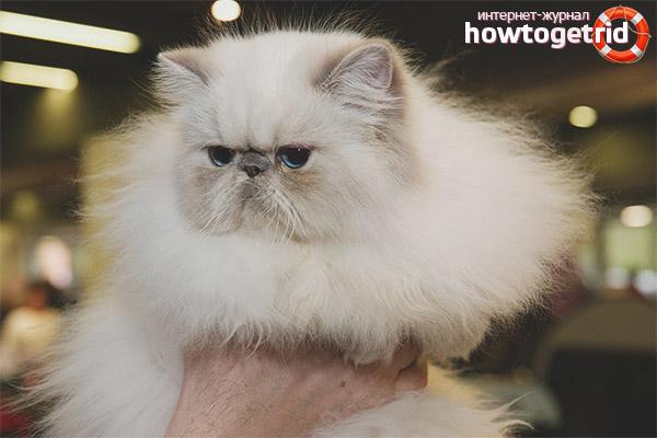 Характер гималайской кошки