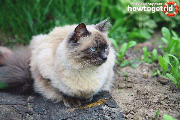 Характер кошек балинез