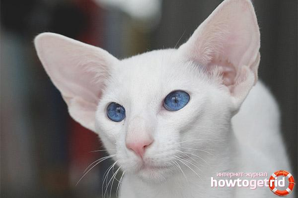 Характер кошек форин вайт