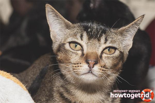 Характер кошек породы азиатская табби