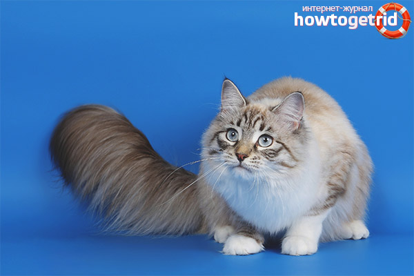 Характер кошек рагамаффин