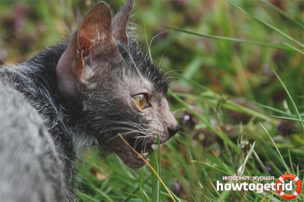 Характер кошки оборотня