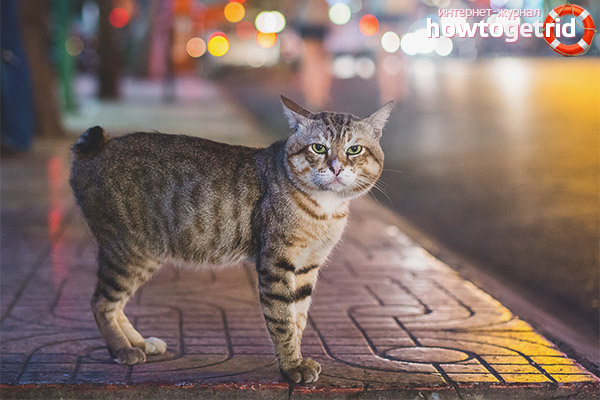 Характер кошки породы мэнкс
