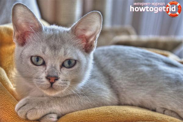 Характер породы кошек бурмилла