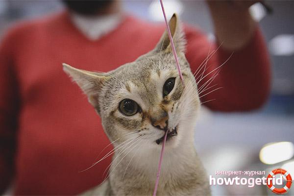 Характер сингапурских кошек