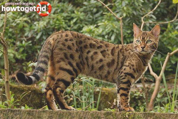 Характер уссурийской кошки