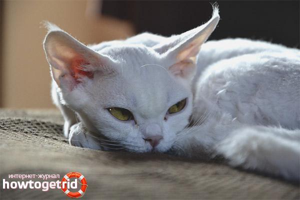 Характеристика кошек породы девон рекс