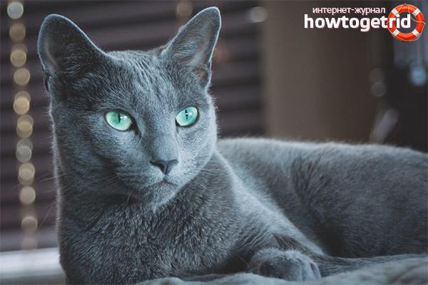 Характеристики шерстяного покрова русской кошки