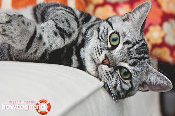 Каким болезням подвержены американские короткошерстные кошки