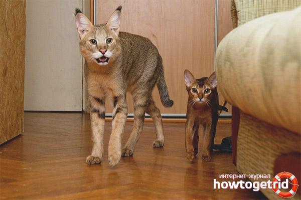 Камышовый кошка в домашних условиях