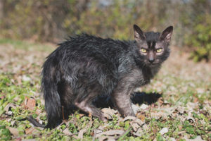 Ликой (кошки-оборотни)