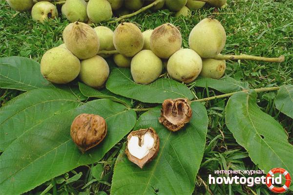 Маньчжурский орех в народной медицине