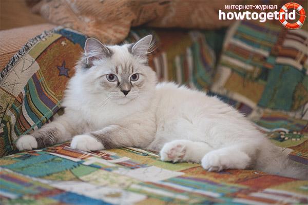 Окрас невской маскарадной кошки
