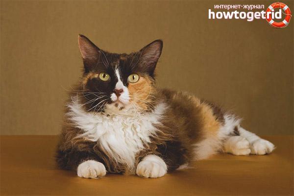 Окрас породы кошек лаперм