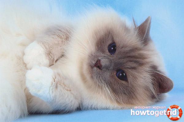 Окрасы бирманской кошки
