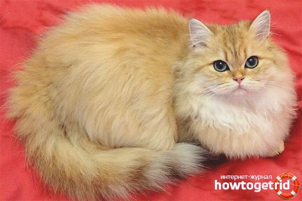 Окрасы британской длинношерстной кошки