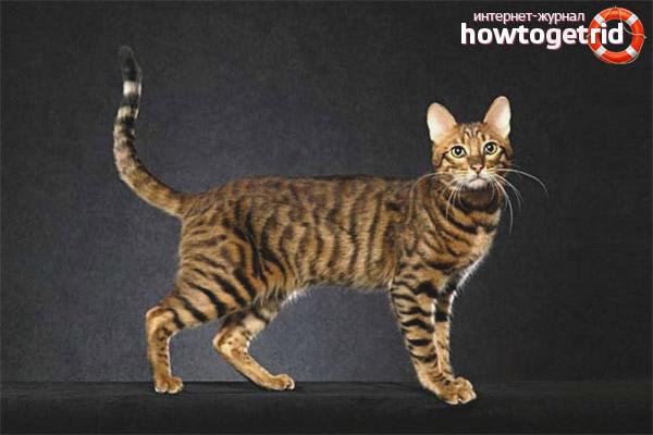 Окрасы кошки породы серенгети