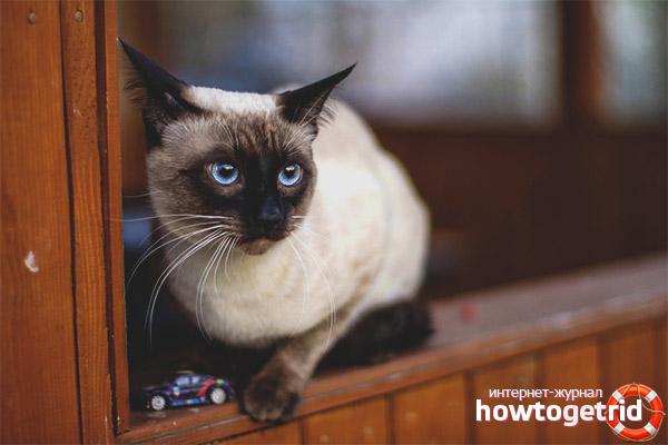 Окрасы тайской кошки