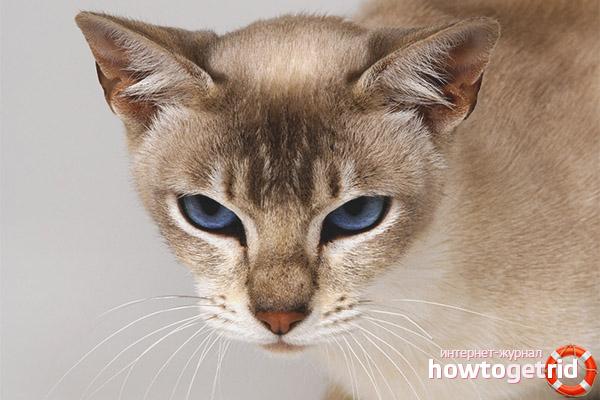 Окрасы тонкинской кошки
