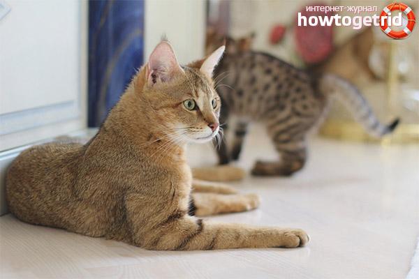 Описание породы кошек чаузи
