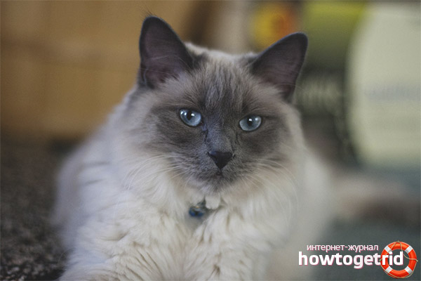 Описание породы кошки балинез