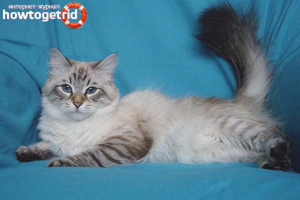 Описание породы невской маскарадной кошки