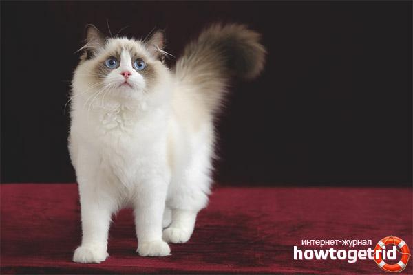 Особенности ухода за кошкой породы рэгдолл