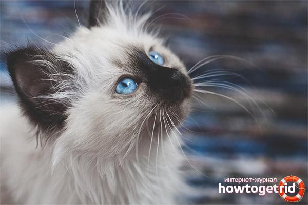 Питание бирманской кошки