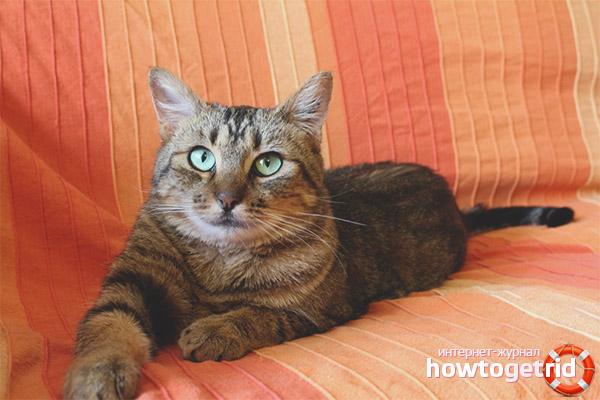 Питание европейской короткошерстной кошки
