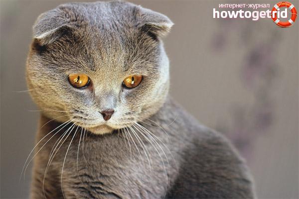 Питание шотландской вислоухой кошки