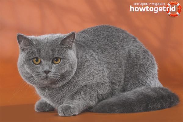 Породные стандарты британской короткошерстной кошки