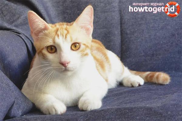 Разведение породы анатолийских кошек
