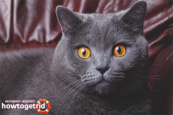 Шерсть британской короткошерстной кошки