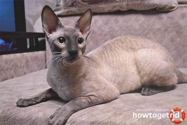 Шерсть кошек породы корниш-рекс