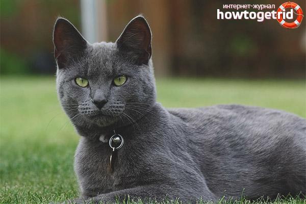 Сколько живут русские голубые кошки